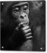 Baby Bonobo Acrylic Print