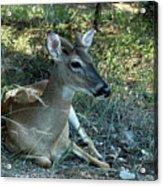 Baby Buck Acrylic Print