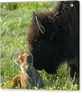 Baby Buffalo And Mother Acrylic Print