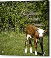 Baby Calf 2 Acrylic Print