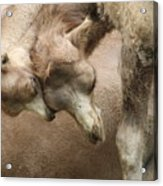 Baby Camels Acrylic Print