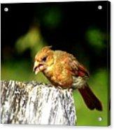 Baby Cardinal Acrylic Print