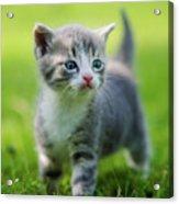 Baby Cat Acrylic Print
