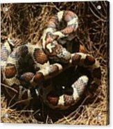 Baby Corn Snake Acrylic Print