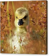 Baby Cuteness - Young Canada Goose Acrylic Print
