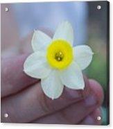 Baby Daffodil Acrylic Print