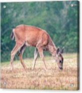 Baby Deer Walking On Grass By Forest Acrylic Print