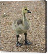 Baby Duck Acrylic Print