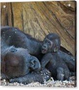 Baby Gorilla Acrylic Print