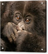 Baby Gorilla Close-up Hiding Mouth With Hands Acrylic Print