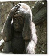 Baby Gorilla1 Acrylic Print