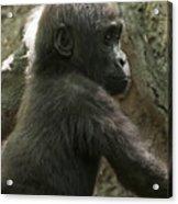 Baby Gorilla2 Acrylic Print