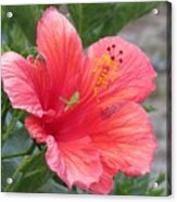 Baby Grasshopper On Hibiscus Flower Acrylic Print