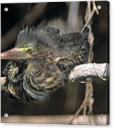 Baby Green Heron Resting On A Branch Acrylic Print