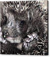 Baby Hedgehog Acrylic Print