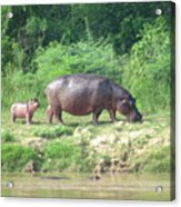 Baby Hippo 1 Acrylic Print