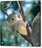 Baby Koala Bear Acrylic Print