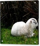 Baby Lamb Acrylic Print