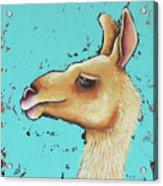 Baby Llama Acrylic Print