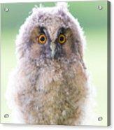 Baby Long-eared Owl Acrylic Print