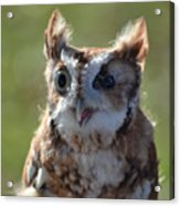 Cute Screetch Owl Acrylic Print