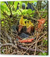 Baby Mockingbirds Acrylic Print