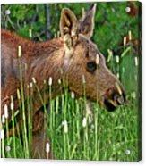 Baby Moose Acrylic Print