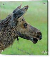 Baby Moose With Dew Acrylic Print