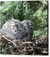 Baby Morning Dove Acrylic Print