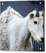 Baby Mountain Goat Acrylic Print