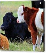 Baby Of The Herd Acrylic Print
