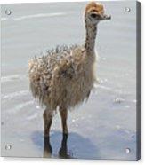 Baby Ostrich Acrylic Print