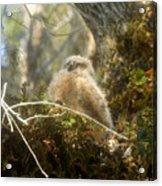 Baby Owl Sleeping Acrylic Print