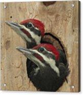 Baby Pileated Woodpeckers Peer Acrylic Print