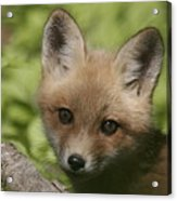 Baby Red Fox Acrylic Print