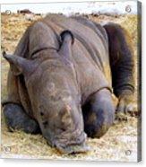 Baby Rhino Resting Acrylic Print