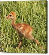 Baby Sandhill Crane Acrylic Print
