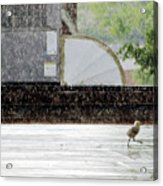 Baby Seagull Running In The Rain Acrylic Print by Bob Orsillo