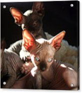 Baby Sphynx Cats  Acrylic Print
