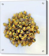Baby Spiders Acrylic Print