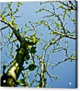 Baby Spring Tree Leaves 02 Acrylic Print by Ryan Kelly