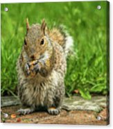 Baby Squirrel's First Peanut Acrylic Print