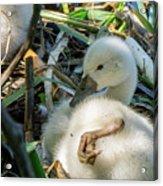 Baby Swan Resting Acrylic Print