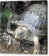 Baby Tortoise Acrylic Print
