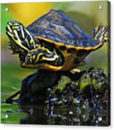 Baby Turtle Planking Acrylic Print by Jessie Dickson