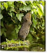 Baby Water Vole Stretching Up Acrylic Print