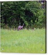 Baby Wild Turkeys Acrylic Print