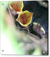 Baby Wrens In The Flowers 338 Acrylic Print