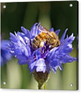 Bachelor Button And Bee Acrylic Print