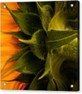 Back Angle Of Sunflower Acrylic Print